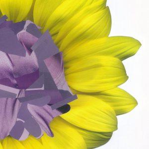 Sonnenblume, Blüte, gelbe Blütenblätter, lila in Mitte, Schnipsel