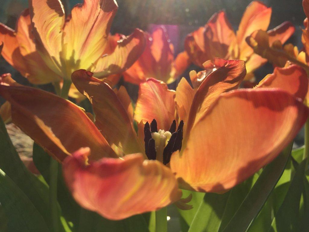 Blütenmeer: Tulpen, (c) hehocra