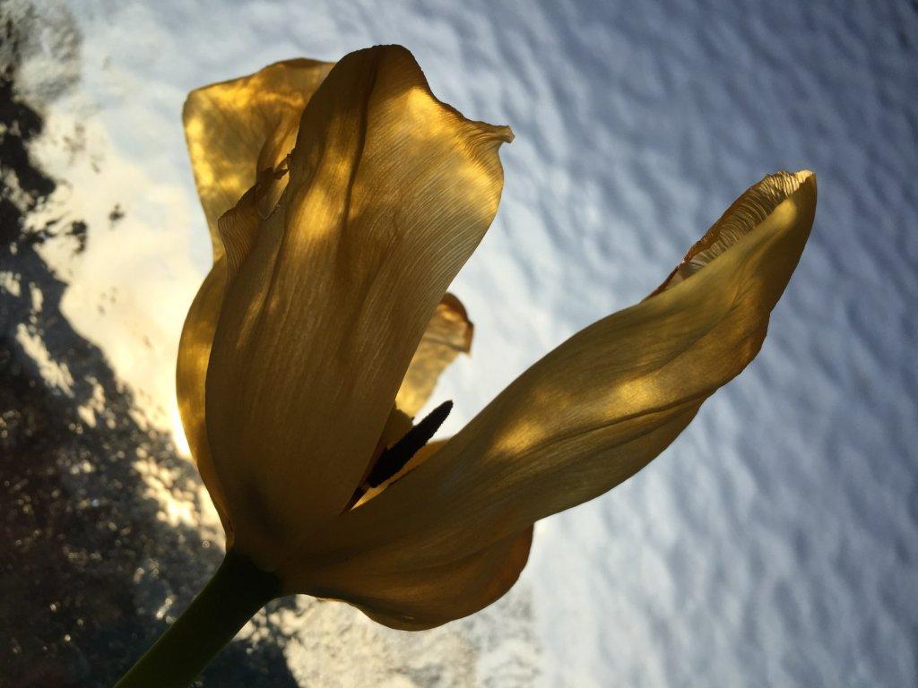 Frühling kraftvoll, Tulpe gelb, (c) hehocra