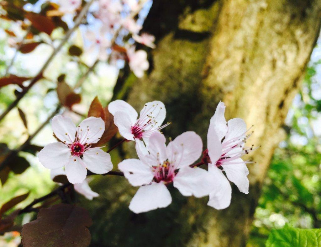 Frühlingsblüten, (c) hehocra