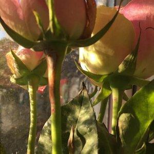 Rosen im Sonnenlicht, (c) hehocra