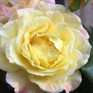 Gelbe Rose, (c) hehocra
