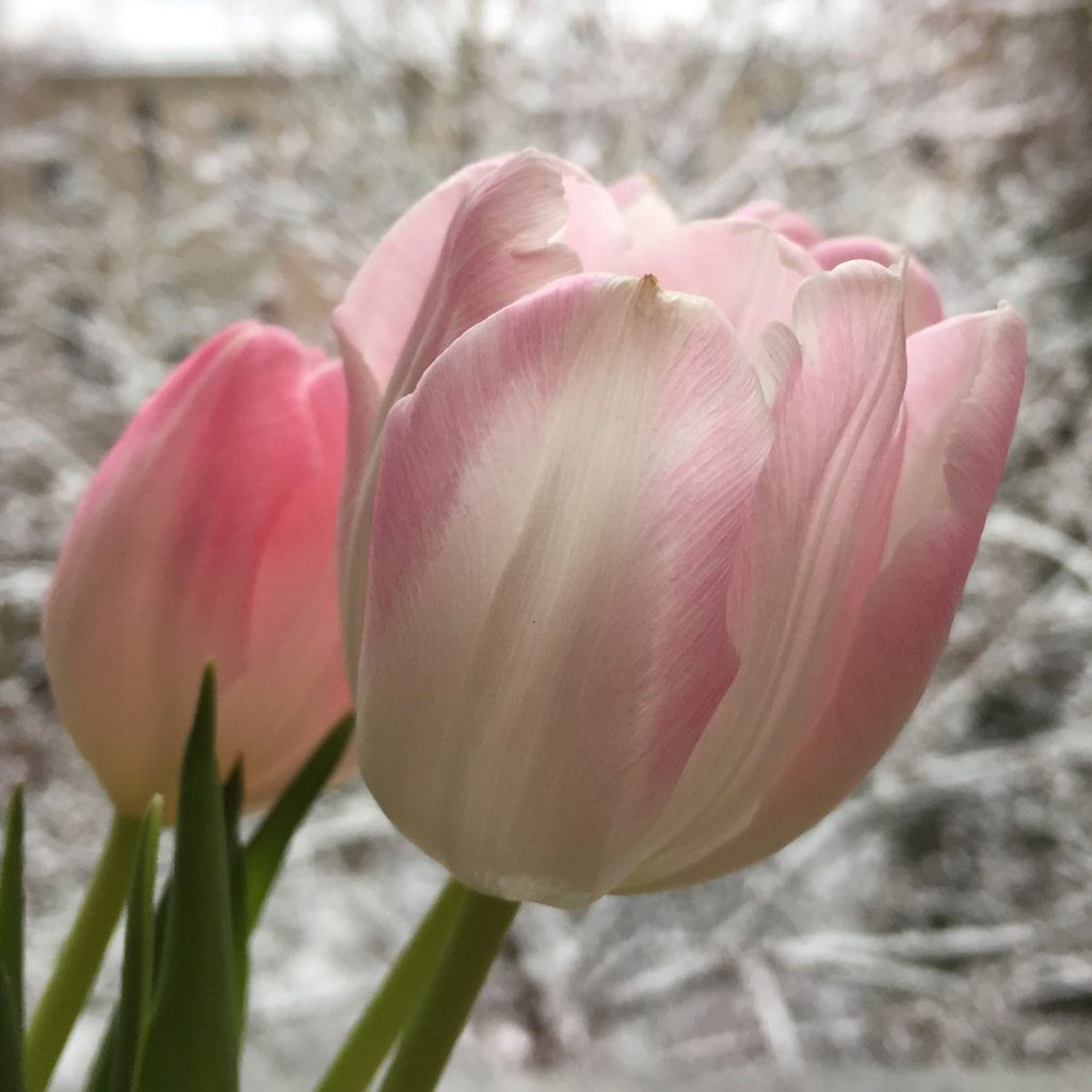 Tulpen im Winter, (c) Doreen Trittel