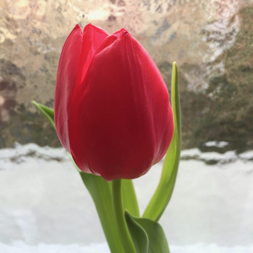 Tulpe rot, 2016, (c) Doreen Trittel