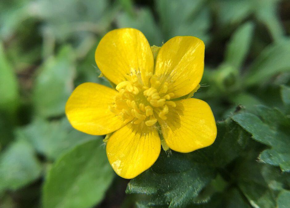 Hahnenfussgewächs, gelbe Blüte vor grünem Blätterhintergrund